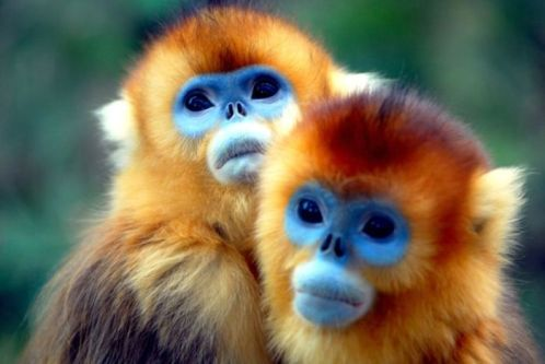 Gold snub nosed monkey babies